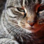 El gato romano: todo lo que necesitas saber