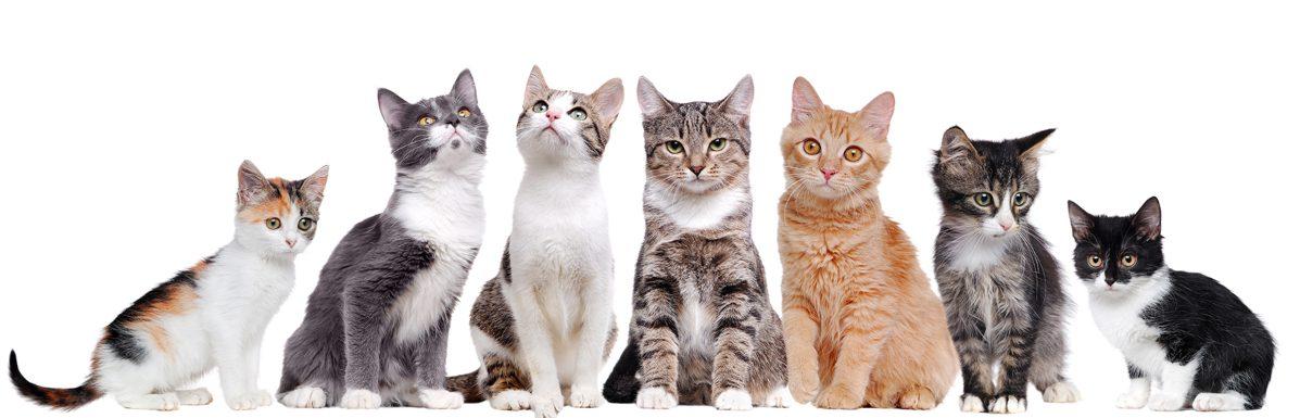 Gatos mascotas