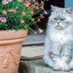 El gato persa: todo lo que necesitas saber