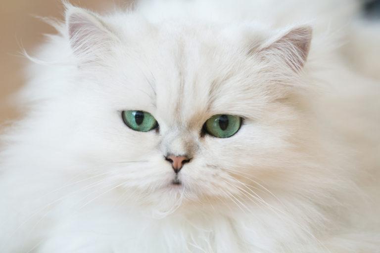 Aspecto gato persa