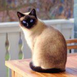 Gato siamés: todo lo que necesitas saber sobre él